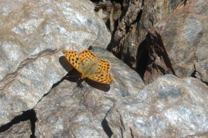 Fritillary at Veleta summit (3200m)